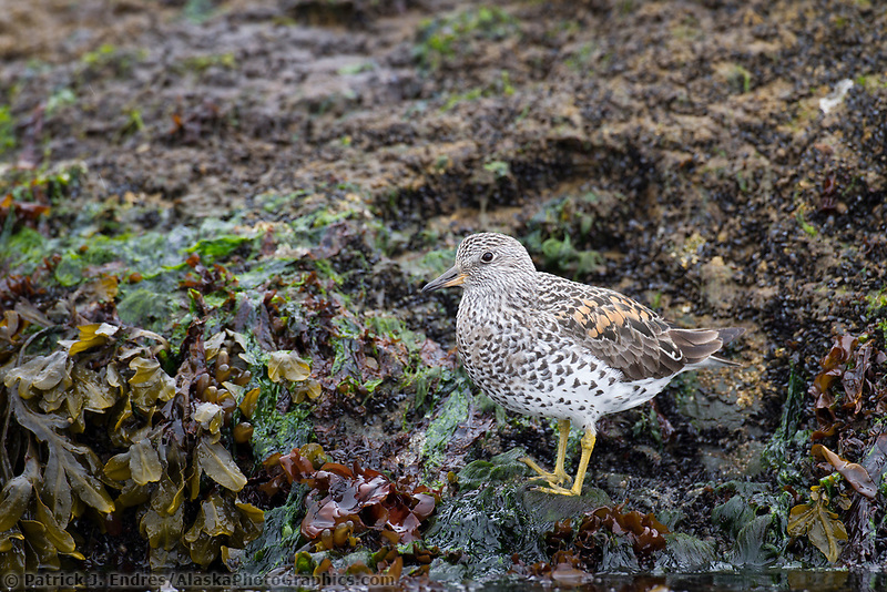 Surfbird in the intertidal zone along the shores of Hinchinbrook Island, Prince William Sound, southcentral, Alaska.