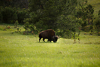An bison grazes along the Wildlife Loop Road in Custer State Park in South Dakota on Sunday, May 21, 2017. (Photo by James Brosher)
