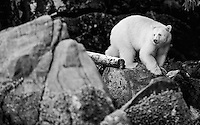 The spirit or Kermode bear is a subspecies of black bear occasionally born with white fur.  It is only found in a small area of British Columbia.<br /> <br /> This image is also available in color.
