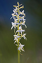 Lesser Butterfly Orchid {Platanthera bifolia} surrounded by Fragrant Orchids {Gymnadenia conopsea} Nordtirol, Austrian Alps. June.