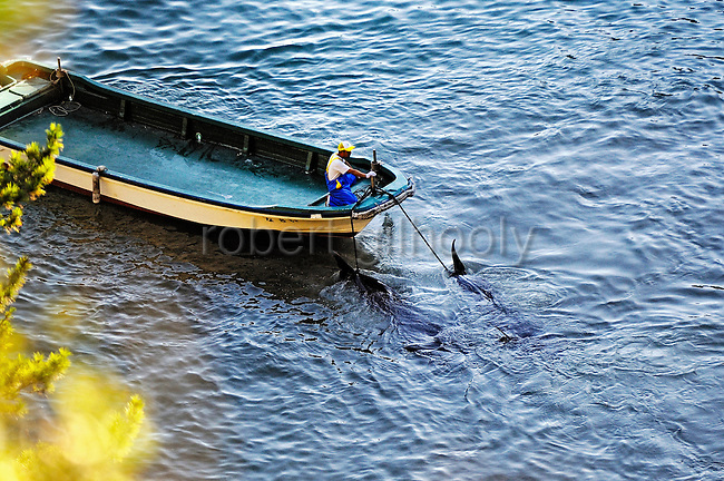 A fisherman tows away what appear to be pilot whales, which are members of the dolphin family, at a cove in Taiji, Japan on 10 September  2009. Sept. 10 marked the first catch of the season, and around 150 dolphins were brought into the cove. A total of around 20,000 dolphins will be killed throughout Japan during the six-month season, according to Japan Fisheries Agency..Photographer: Robert Gilhooly....