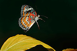 Cethosia cyane, Lacewing Butterfly, in flight, flying, showing underside of patterned wings, high speed photographic technique.Malaysia....