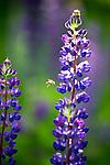 Wildflowers in the Upper Peninsula