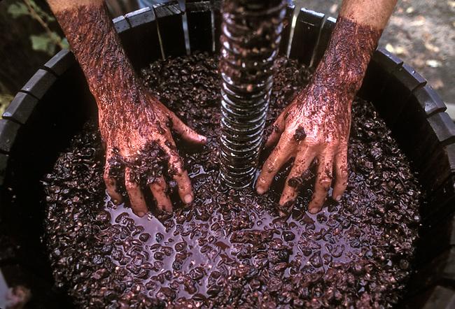 Hands push Zinfandel grapes into grape press