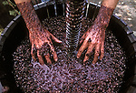 Hands push Zinfandel grapes into grape press