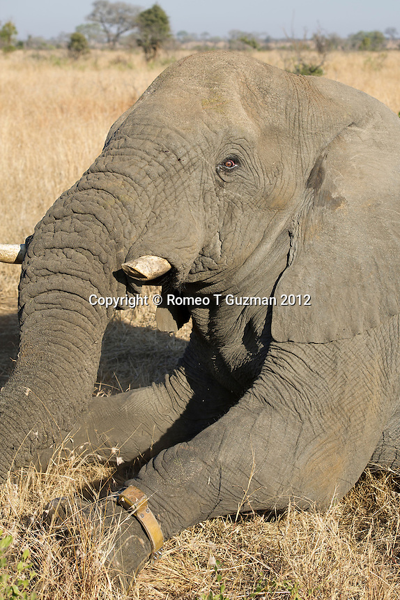 July 20, 2012: Elephant Immobilization and GPS Tracking Application Lower Sabie in Kruger National Park in South Africa