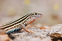 Texas Spotted Whiptail, Cnemidophorus gularis, adult, Uvalde County, Hill Country, Texas, USA, April 2006
