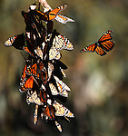 Monarch butterflies in clusters on a euclyptus trees at Ardenwood Historic Farms in Fremont. ..