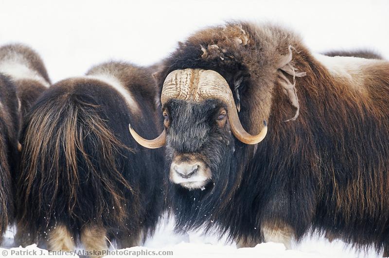 Bull Musk Ox on Alaska's snowy Arctic Coastal Plain