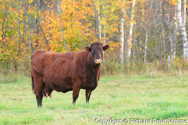 A female cattle standing in a pasture in fall