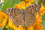 Bushbroun Butterfly( Satyridae/Mycalesis)