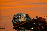 Southern sea otter, Enhydra lutris nereis, resting in kelp, female, reflection, sunset, dusk, Monterey, California, USA, pacific ocean, national marine sanctuary, endangered species