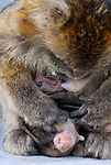 Baby Barbary Macaque suckling from it´s mother while she preens  babies fur for insects. Rock of Gibraltar colony.