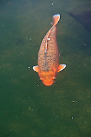 A large orange koi fish swims by in the Japanese Gardens koi pond.