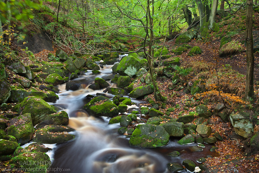 River running through beech woodland, with water stained dark brown by tannin. Peak District National Park, Derbyshire, UK. October.