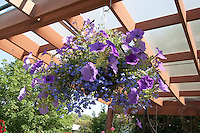 Purple petunias suspended from translucent deck ceiling. Grand Old Day Festival. St Paul Minnesota MN USA