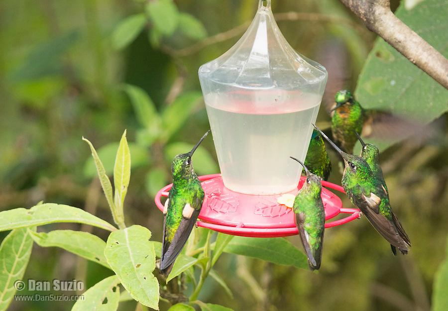 Buff-winged starfrontlets, Coeligena lutetiae, perched on a feeder at Yanacocha Reserve, Ecuador