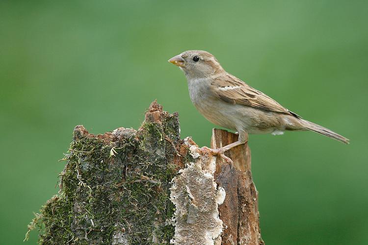 House Sparrow - Passer domesticus - female