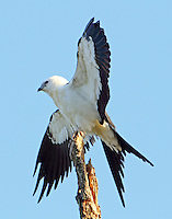 Juvenile swallow-tailed kite holding wings out. The birds would hold this posture for several minutes at a time. Reminds me of how vultures do this. Why?