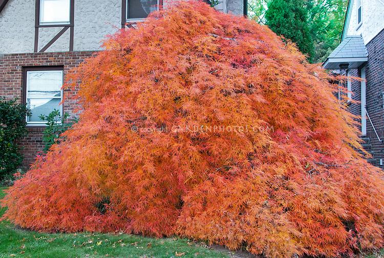 Acer Orangeola Plant Flower Stock Photography Gardenphotoscom