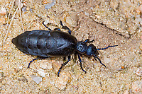 Schwarzblauer Ölkäfer, Schwarzer Maiwurm, Weibchen, Meloe proscarabaeus, Meloë proscarabaeus, oil beetle, black oil beetle, European oil beetle, female, le Méloé printanier