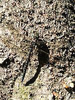Hochmoor-Mosaikjungfer, Hochmoor - Mosaikjungfer, Männchen, Aeshna subarctica, Subarctic Hawker