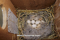 00715-03407 Wood duck (Aix sponsa) nest with eggs in nest box Marion Co.   IL