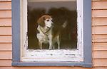 Beagle in window