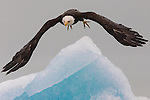 Bald Eagle, Glacier Bay National Park and Preserve, Alaska, USA