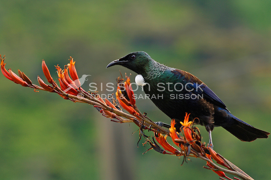 Tui sitting on native flax flowers, Marlborough Sounds, South Island, New Zealand