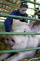 Closeup of a large 4H pig and his handler at the Kitsap County Fair livestock show in Bremerton, WA. Stock photography by Olympic Photo Group