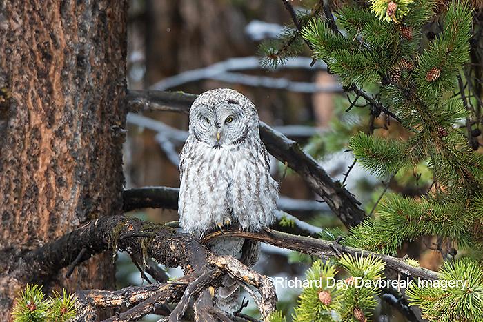 01128-00215 Great Gray Owl (Strix nebulosa)  Yellowstone National Park, WY
