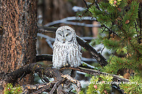 01128-00215 Great Gray Owl (Strix nebulosa)  Yellowstone National Park, WY