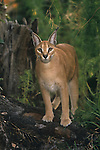 Caracal Lynx (Caracal caracal), Africa.