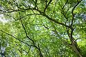 Ash Tree {Fraxinus excelsior} canopy, Derbyshire, UK. July.