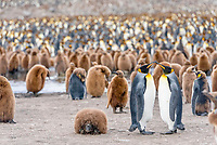 King Penguins (Aptenodytes patagonicus), adult birds, pair, surrounded by chicks in a King Penguin colony, St. Andrews Bay, South Georgia and the South Sandwich Islands, British overseas territory, Antarctica