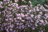 Rhododendron Cliff Garland in pink spring flowers