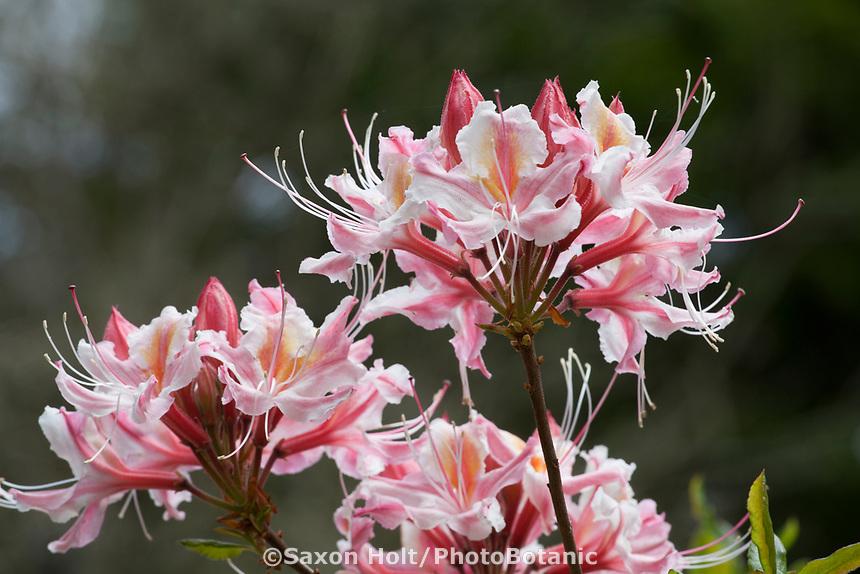 Rhododendron occidentale,  western azalea flower detail in Menzies Garden of California native plants; San Francisco Botanical Garden