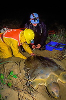 U. Queensland grad. student Jannie Bech Sperling & volunteer Peter Barrett use wrench to remove electronic data logger from carapace of Australian flatback sea turtle, Natator depressus, Curtis Is., Qld., Australia