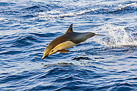 Common dolphin (Delphinus delphis) Baja California, Mexico Pacific Ocean