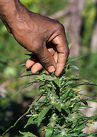 Jamaican ganja farmer checks his marijuana plants , Jamaica