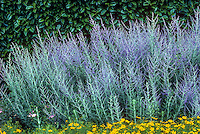Perovskia atriplicifolia (Russian Sage), silver gray foliage flowering perennial in front of garden hedge