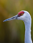 A sandhill crane looks for food at the  George C. Reifel ?Migratory Bird Sanctuary October 30, 2007.  Photo by Gus Curtis