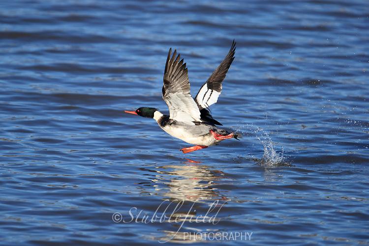 Red-breasted Merganser (Mergus serrator) male taking flight from the Hudson River off Verplanck Point in Verplanck, New York.