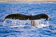 humpback whale, Megaptera novaeangliae, fluking or fluke-up dive, Hawaii, USA, Pacific Ocean