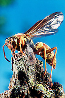 PAPER WASP<br />