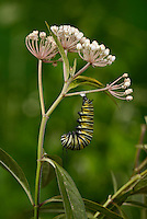 Monarch (Danaus plexippus), caterpillar pupating, Hill Country, Texas, USA