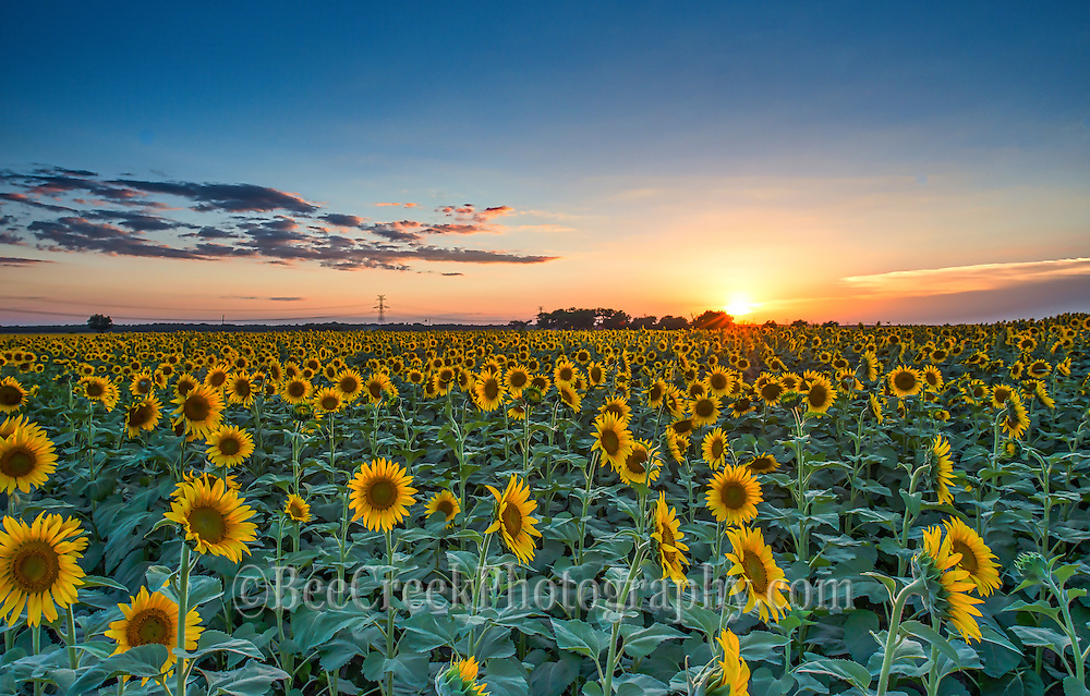 Another Field Of Sunflowers At Sunset Under A Big Texas Sky I Love The Golden