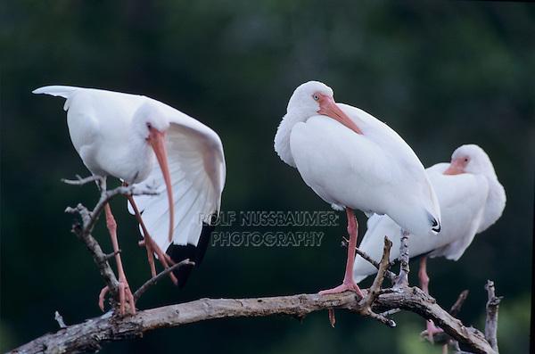 White Ibis, Eudocimus albus, adults resting, Ding Darling National Wildlife Refuge, Sanibel Island, Florida, USA, Dezember 1998