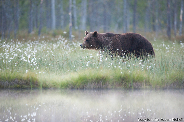 European Brown Bear, Ursus arctos arctos, Kuhmo, Finland, Lentiira, Vartius near Russian Border, foraging in forest near lake,